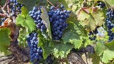 Созревший виноград в Крыму. Архивное фото