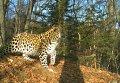 Дальневосточный леопард, запечатленный фотоловушкой.