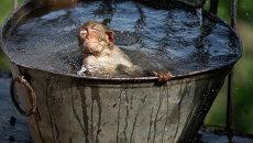 Обезьяна в баке с водой во время жары в Индии