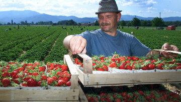 Европейский фермер на плантации клубники
