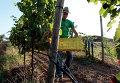 Итальянский фермер во время сбора винограда