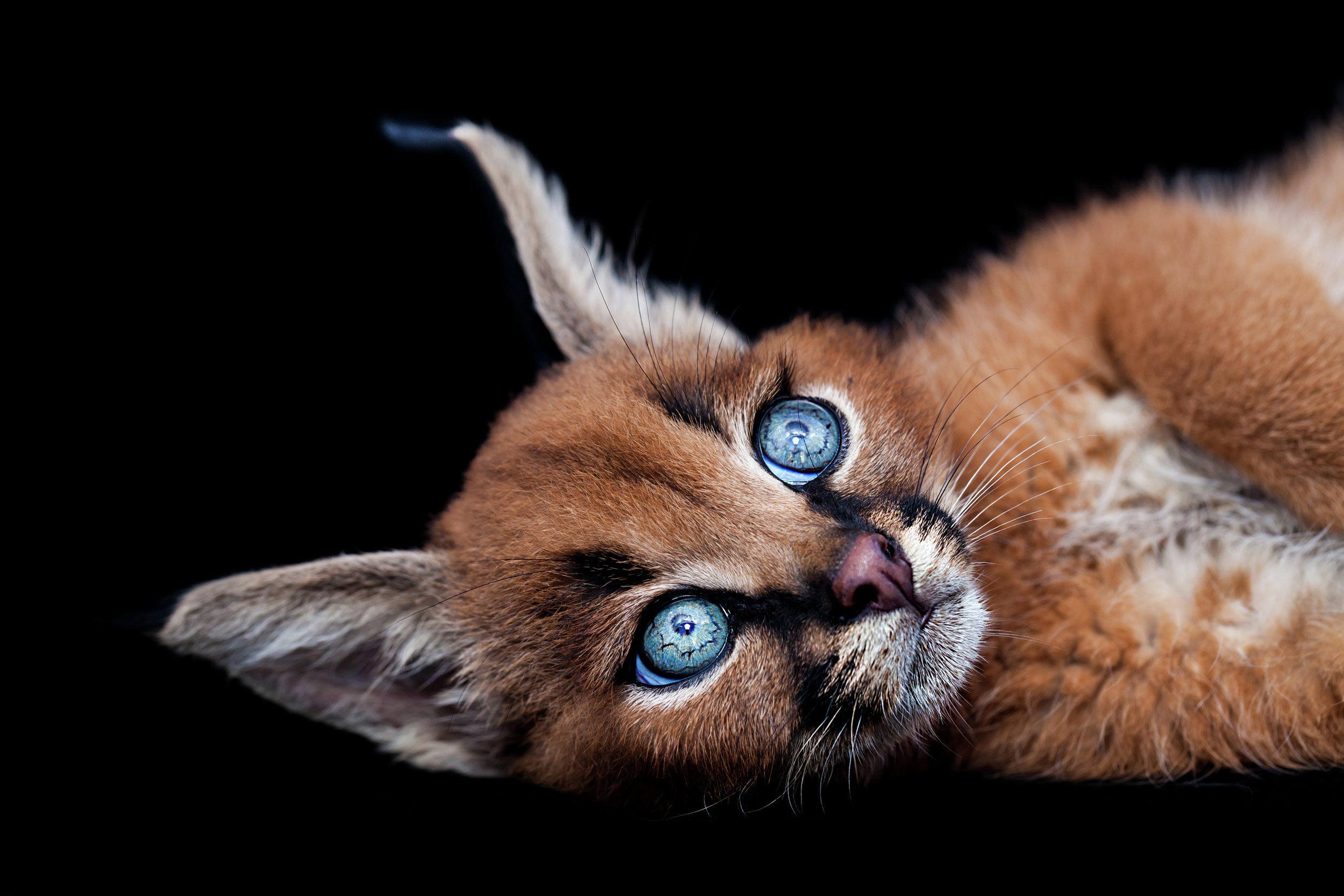 Котенок породы каракал. Архивное фото