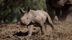 Детеныш белого носорога. Архивное фото