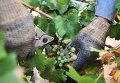 Уборка винограда в Ростовской области