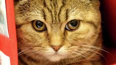 Кот породы шотландская короткошерстная на выставке-ярмарке кошек в Калининграде