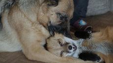 Приручить хищника, или Как лиса стала лучшим другом овчарки
