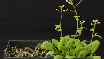 Слева - арабидопсис из контрольной группы, справа - устойчивый к засухе трансгенный вариант