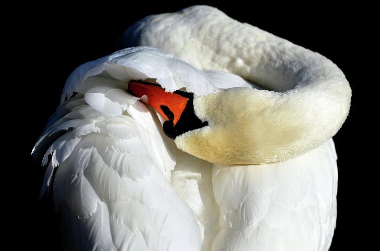 Лебедь-шипун очищает оперение
