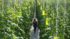 Выращивание огурцов в тепличном комплексе, архивное фото