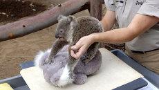 Малыша коалы успокаивали плюшевым медведем во время взвешивания в зоопарке