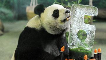 Гигантская панда по кличке Юаньюань в зоопарке Тайбэя. Архивное фото