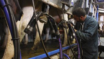 Фермер доит корову. Архивное фото