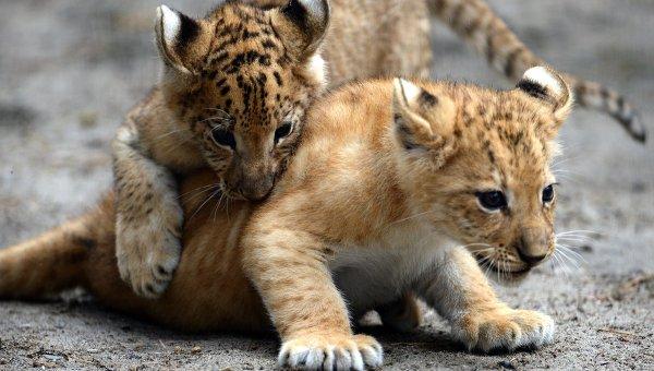 Детеныши лигров в вольере зоопарка. Архивное фото