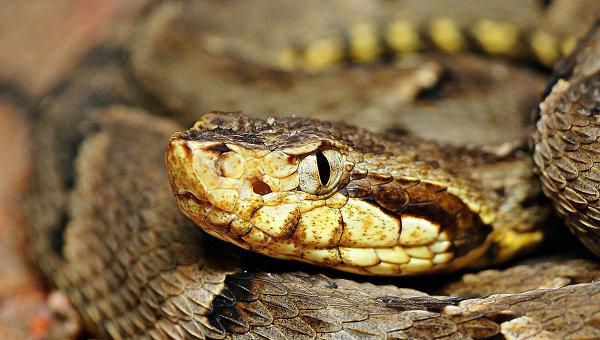 Змея жарарака. Архивное фото