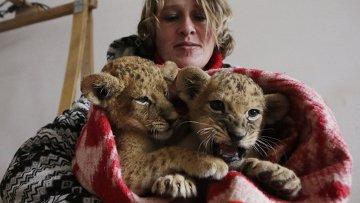Сотрудники крымского парка Тайган укутывают замерзших львят одеялами