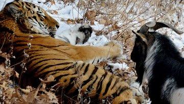 Уссурийский тигр по кличке Амур и козел по кличке Тимур в вольере Приморского сафари-парка. Архивное фото