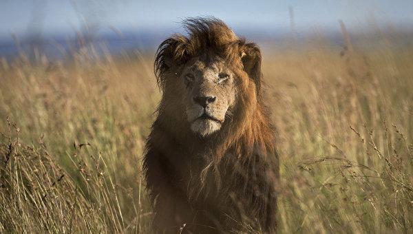 Лев в заповеднике Масаи-Мара. Архивное фото