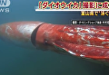 В Японии сняли на камеру очень крупного кальмара