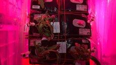 Завядшие астры-циннии в установке Veggie на МКС