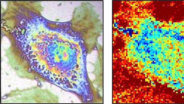 Фотография клетки, полученная термомикроскопом французских ученых