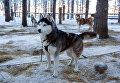 Собаки породы сибирский хаски на территории туристического комплекса Карьяла Парк