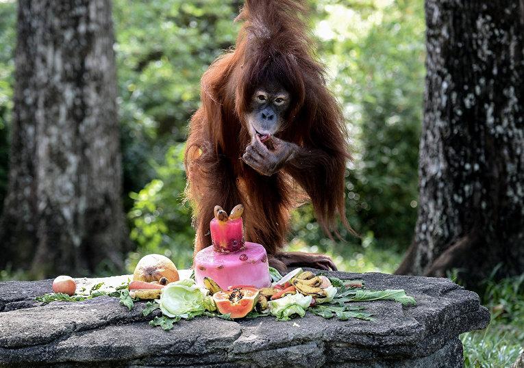 Орангутан в зоопарке Куала-Лумпура