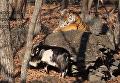 Тигр Амур дал козлу Тимуру оплеуху. ВИДЕО