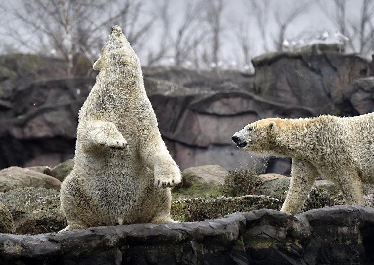Белые медведи в зоопарке Гельзенкирхена