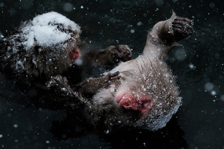 Японские дикие обезьяны, известные как снежных обезьяны в горячих источниках в парке Дзигокудани