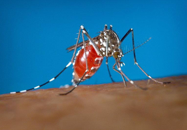 Самка комара Aedes albopictus - переносчика вируса Зика