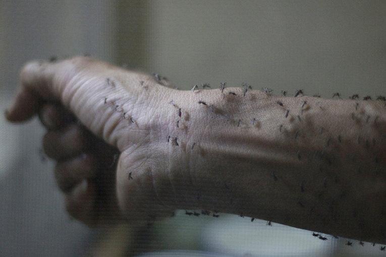 Рука медработника, покрытая стерильными самками комара Aedes albopictus - переносчика вируса Зика