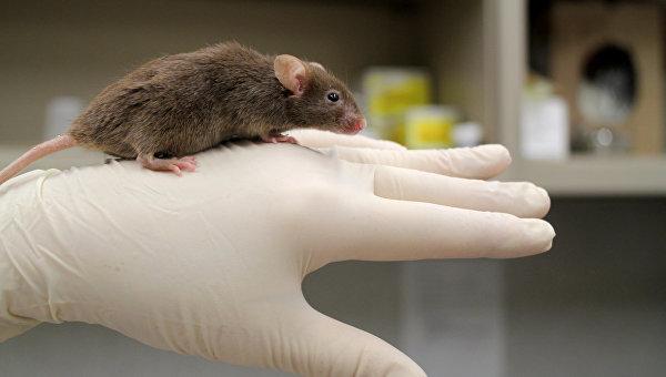 Самец мыши, лишенный мужской Y-хромосомы