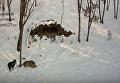Тигр Амур наказал козла Тимура. ВИДЕО