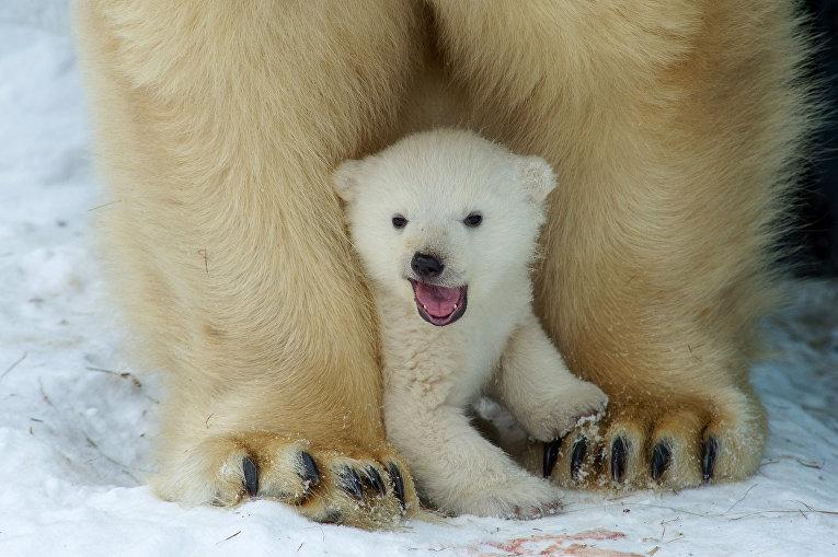 Полярный медвежонок в зоопарке Новосибирска