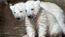 Белые медвежата в зоопарке Германии. Архивное фото