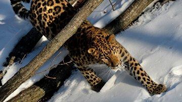 Леопард в Приморском зоопарке. Архивное фото