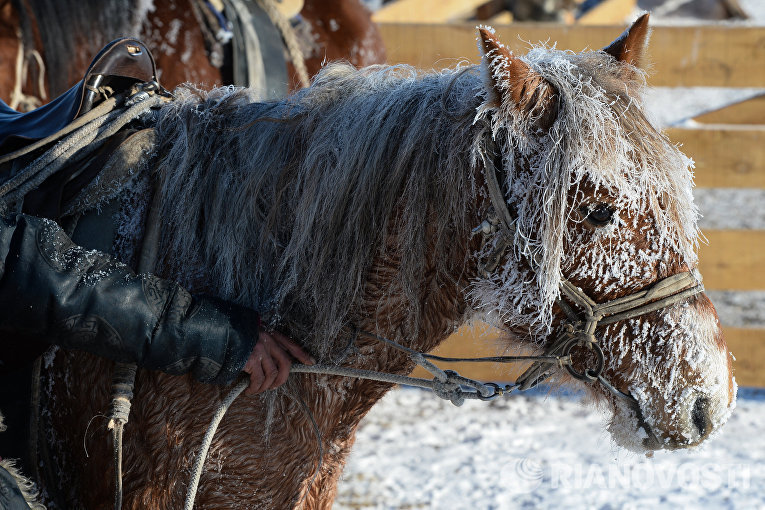 Лошадь на зимней чабанской стоянке в местечке Чумур-Ой Тес-Хемского кожууна Республики Тыва