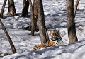 Амурская тигрица по кличке Тайга в Приморском Сафари-парке