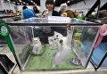 Котята породы британская шиншилла на выставке кошек и котов День влюбленных котов в КВЦ Сокольники