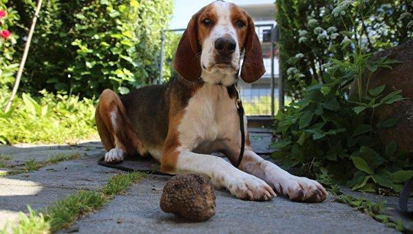 Собака по кличке Миро, умеющая искать трюфели в почве