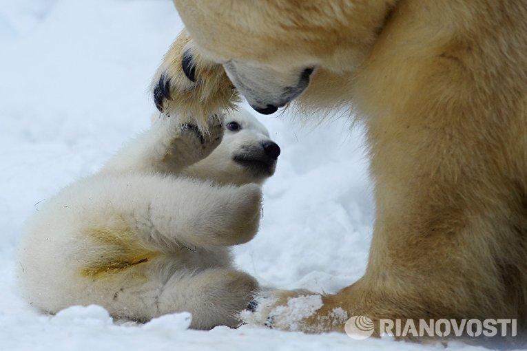 Белый медвежонок со своей мамой Гердой в вольере Новосибирского зоопарк