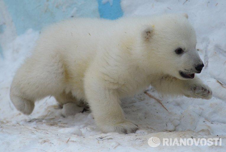 Медвежонок, родившийся у белых медведей Кая и Герды 7 декабря 2015 года, в вольере Новосибирского зоопарка