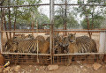 Храм тигров в Таиланде