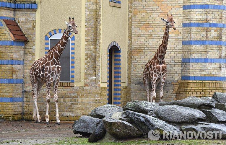 Жирафы в Зоологическом саду Берлина