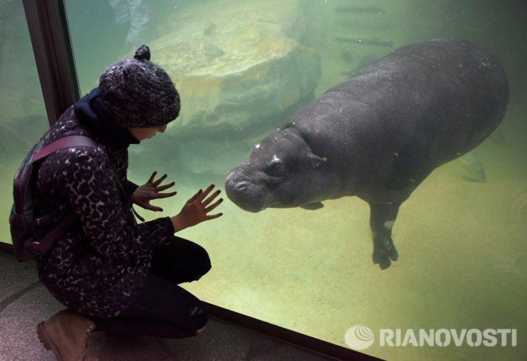 Карликовый бегемот в Зоологическом саду Берлина