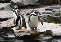 Очковые пингвины в Зоологическом саду Берлина