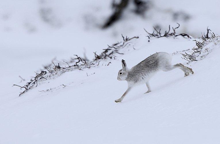 Заяц в горах Кернгорм