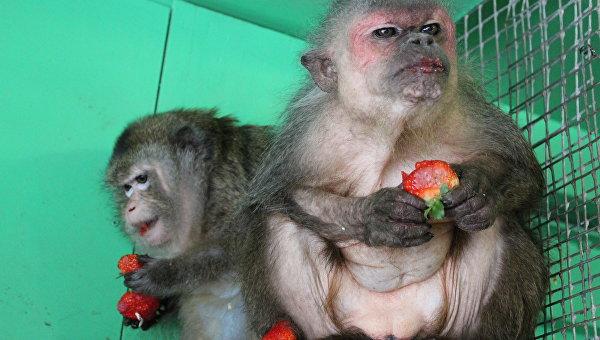 Обезьян в Приморском зоопарке поздравили с 8 марта ящиком клубники
