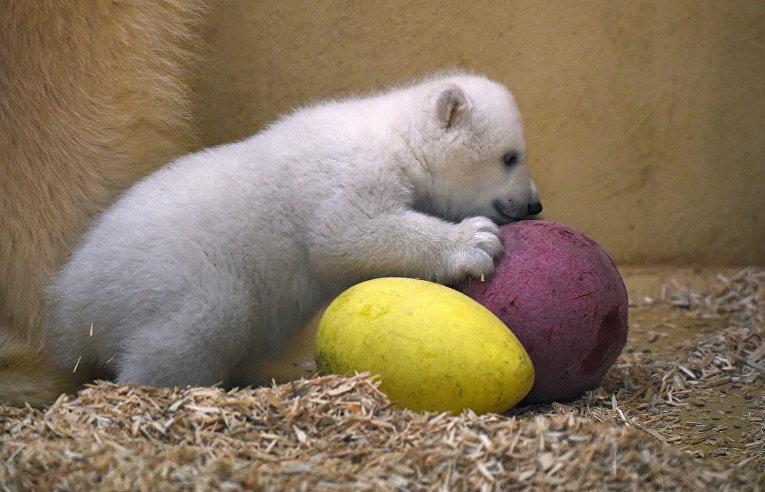 Белый медвежонок, рожденный в зоопарке Бремерхафена, Германия
