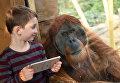Орангутан в зоопарке Zoom Erlebniswelt в городе Гельзенкирхен, Германия